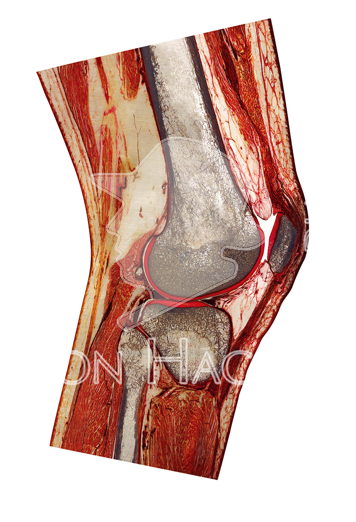 knee-joint-slice-hg6742-front.png