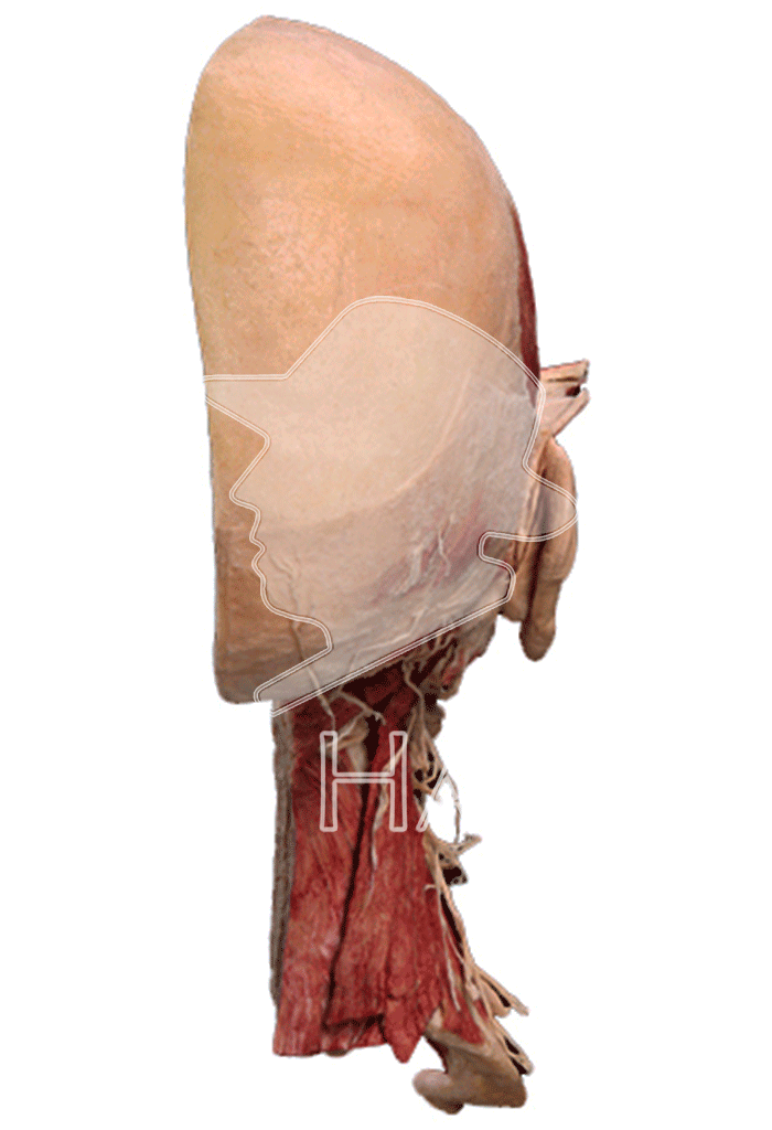 half-head-specimen-hp0202-behind.png