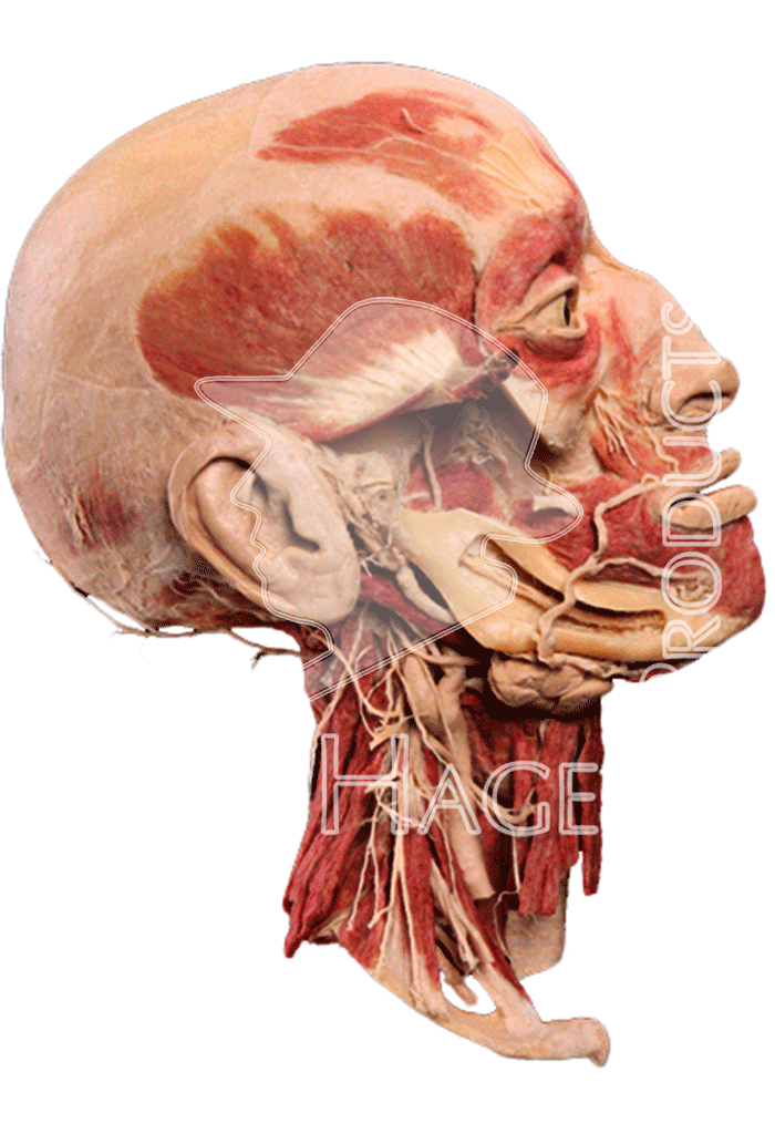 half-head-specimen-hp0202-right.png