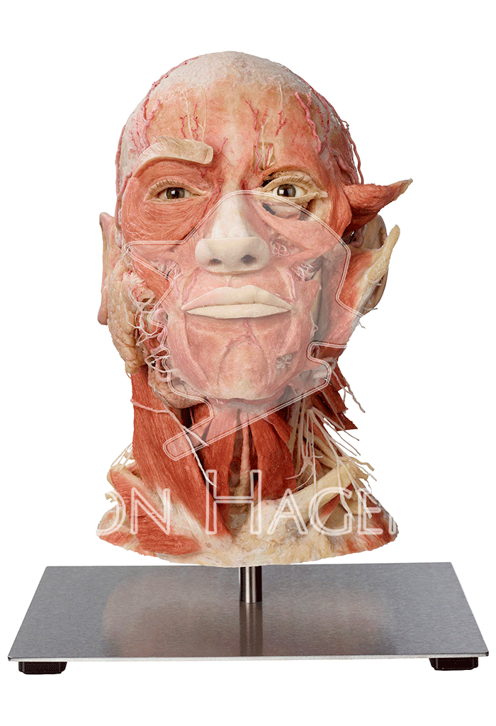 whole-head-specimen-hp0301-front.png