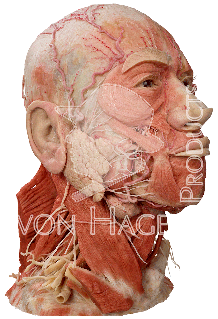 whole-head-specimen-hp0301-right_03.png