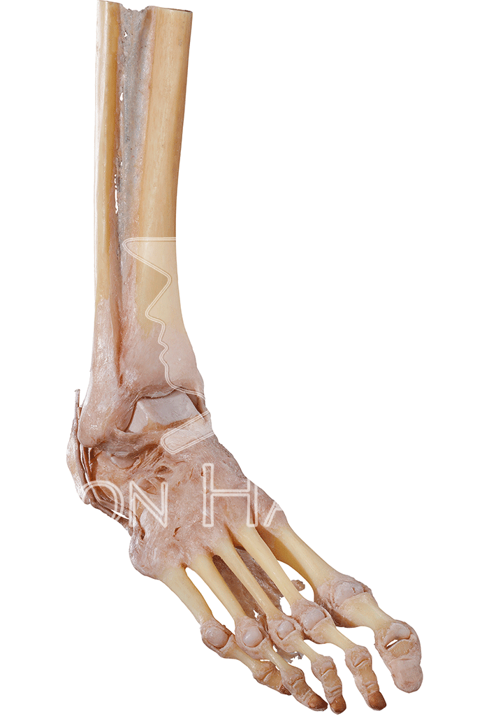joints-of-the-foot-hp1006-front-right.png