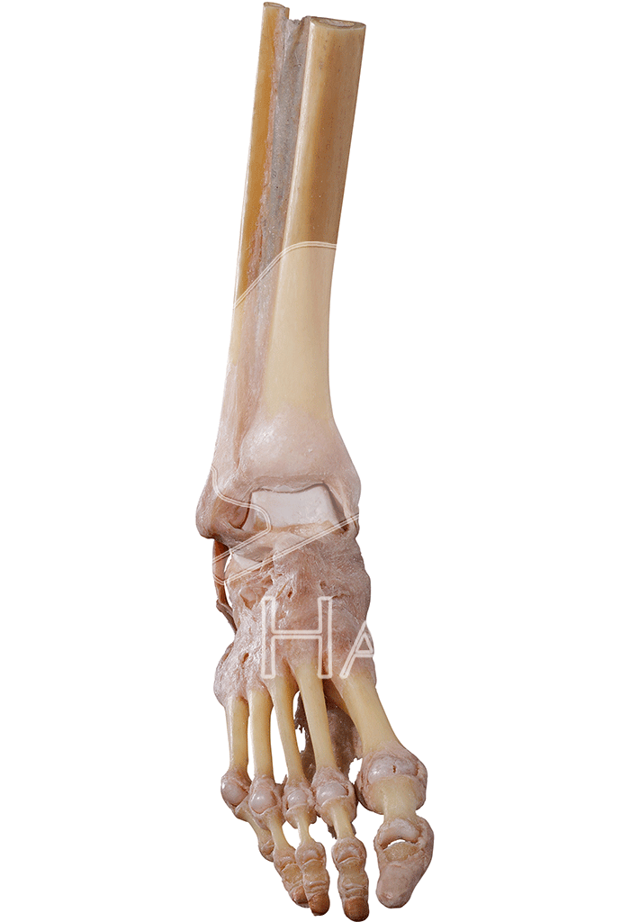 joints-of-the-foot-hp1006-front.png