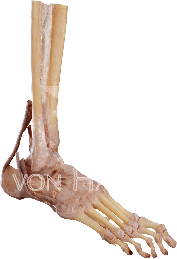 joints-of-the-foot-hp1006-right.png