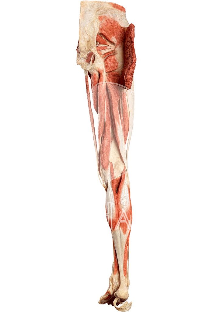 musculature-of-the-lower-extremity-hp0601-behind.png