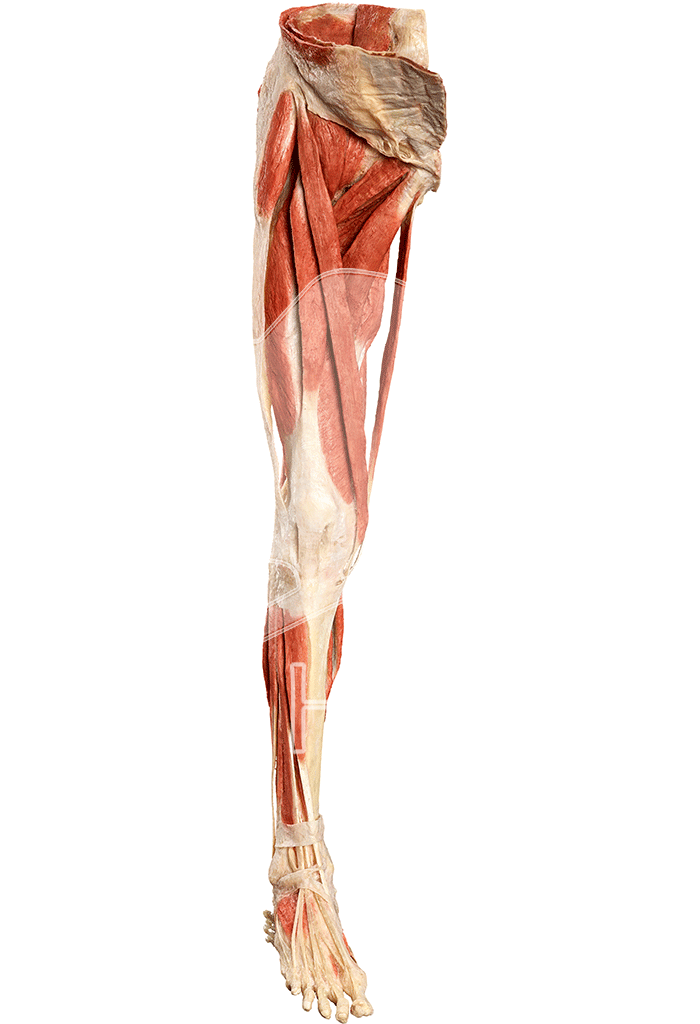 musculature-of-the-lower-extremity-hp0601-front.png