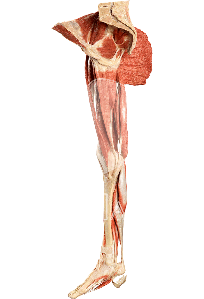 musculature-of-the-lower-extremity-hp0601-left.png