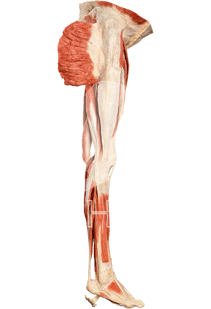 musculature-of-the-lower-extremity-hp0601-right.png