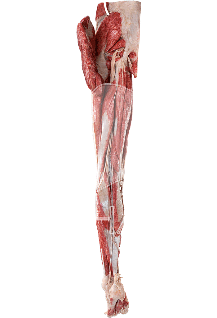 lower-extremity-without-reproductive-organs-hp0603-behind.png