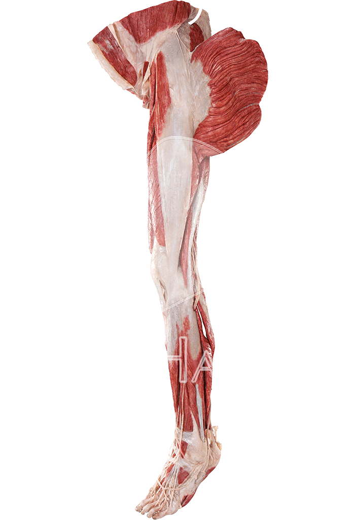 lower-extremity-without-reproductive-organs-hp0603-left.png
