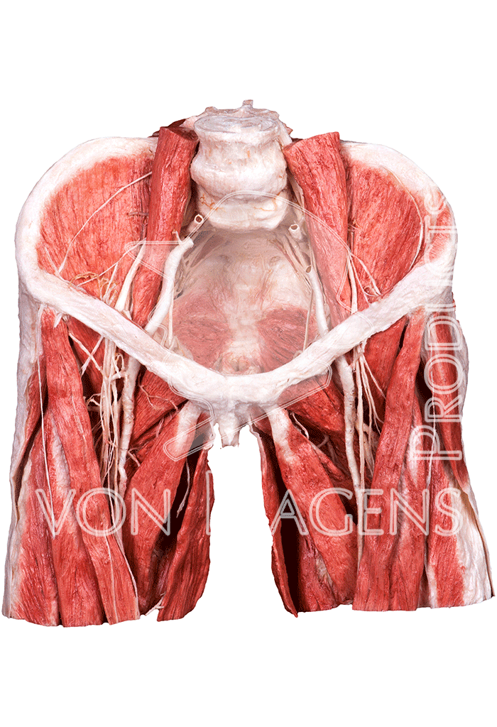 whole-female-pelvis-hp0903-front.png