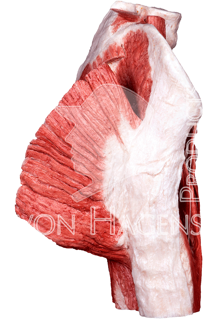 whole-female-pelvis-hp0903-right.png