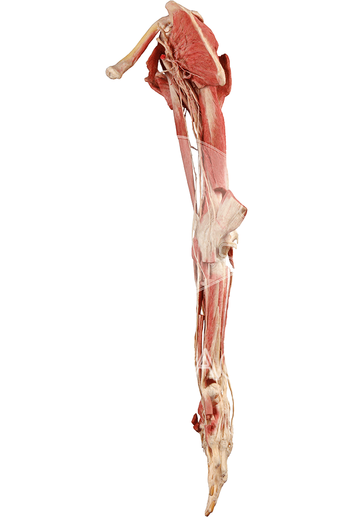 upper-extremity-hp0504-left.png