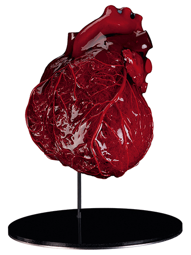 blood-vessel-configuration-of-the-human-heart-HC3003-front