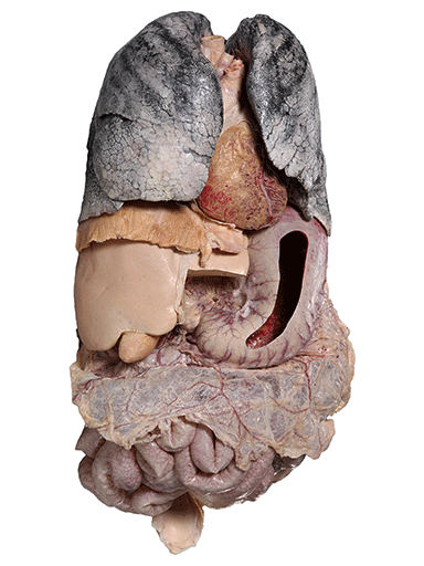 internal-organs-of-the-thoracic-and-abdominal-cavities-HP1102-front