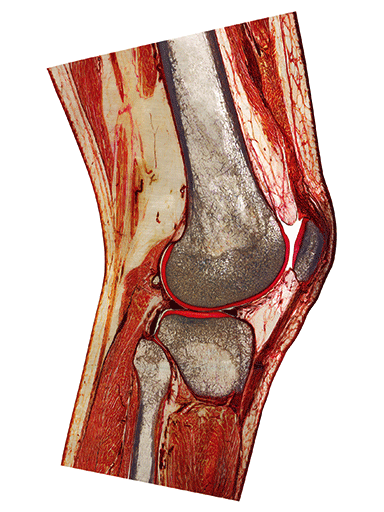 knee-joint-slice-HS6742-front
