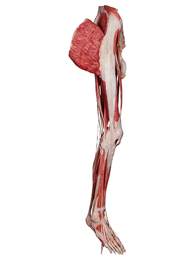 musculature-of-the-lower-extremity-HP0601-left