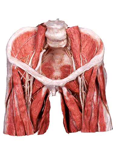 whole-male-pelvis-HP0901-front